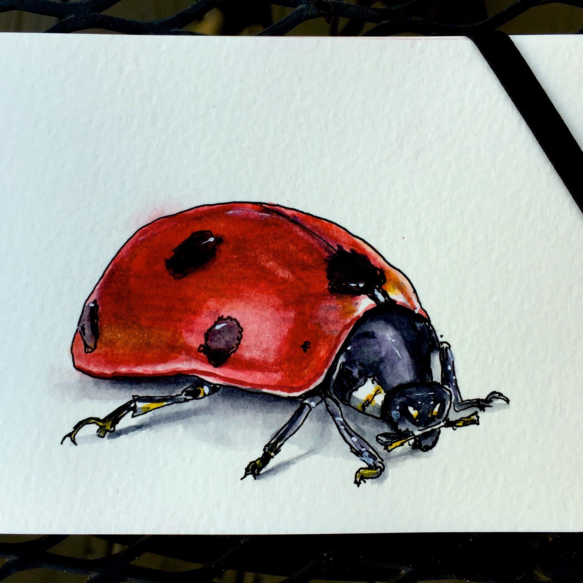 Giant Lady Beetle