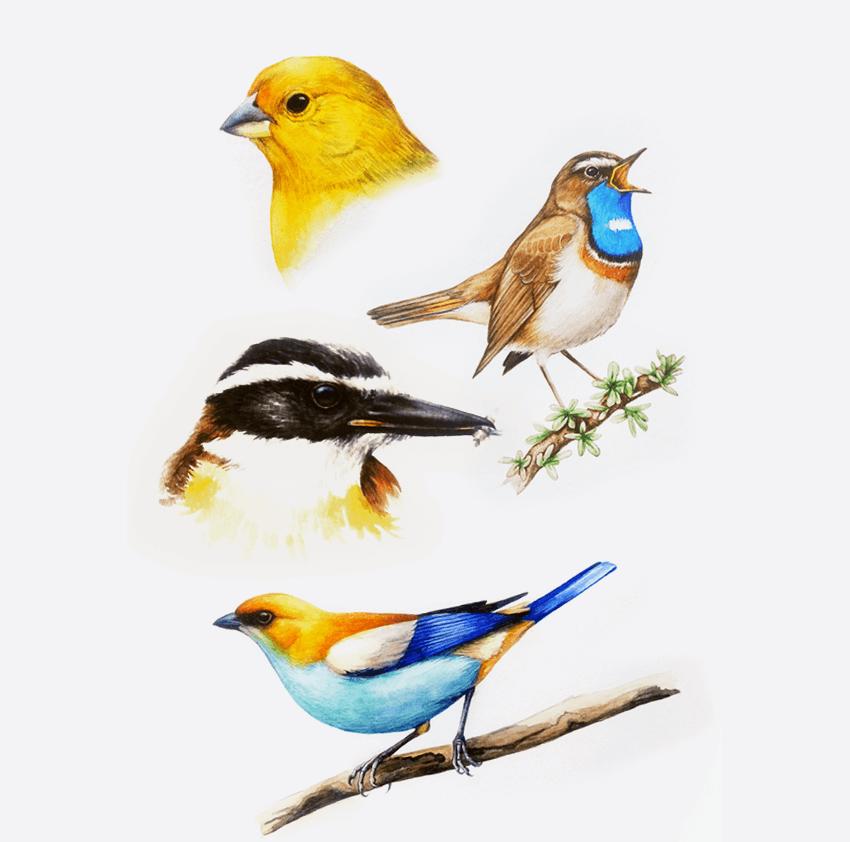 GUEST DOODLEWASH: Birds of Argentina