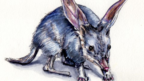 The Greater Bilby