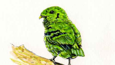The Green Broadbill