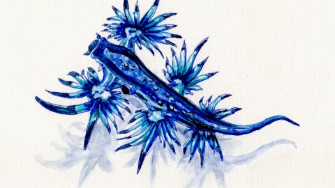 The Glaucus Atlanticus