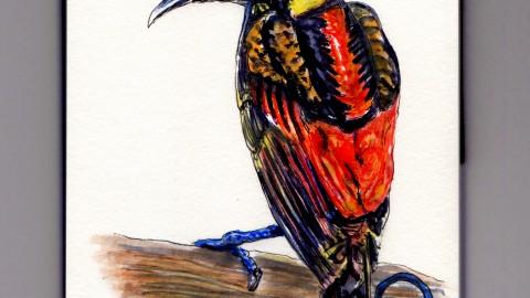 The Wilson's Bird of Paradise
