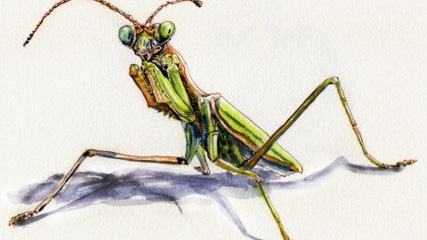 Odd Habits Of The Praying Mantis