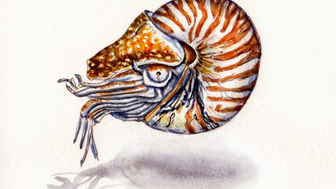 A Living Nautilus Shell
