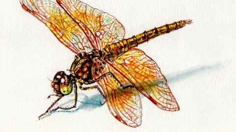The Dragonfly – Long Before Dinosaurs, Dragons Filled The Sky