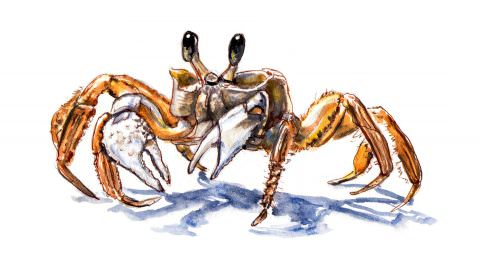 World Watercolor Month – Day 6 – A Tiny Crab